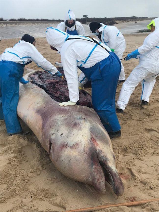 La baleine à bec a été disséquée par des experts du réseau Pelagis.