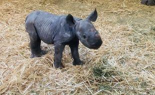 Le bébé rhinocéros noir est né le 6 décembre sur le Bassin d'Arcachon.