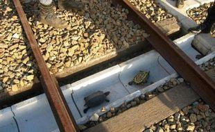 Photo publiée par les chemins de fer japonais de l'Ouest le 24 novembre 2015 montrant des tortues passant sous des rails dans des tranchées ad hoc sur des voies à Kobé, au Japon