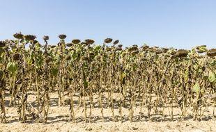Des tournesols lors d'une alerte sécheresse dans l'Ain, en août 2018.