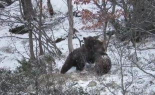 Deux jeunes ours s'amusent dans la neige, dans les Pyrénées espagnoles.
