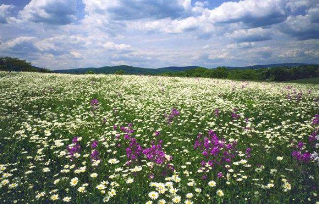 Un champ de fleurs sauvages dans les Appalaches, aux Etats-Unis.
