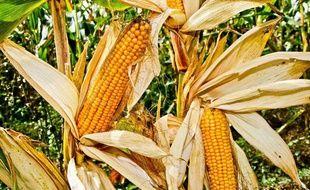 Epi de maïs  une etude francaise met  en evidence des effets délétères sur le rat apres consommation de maïs transgenique.