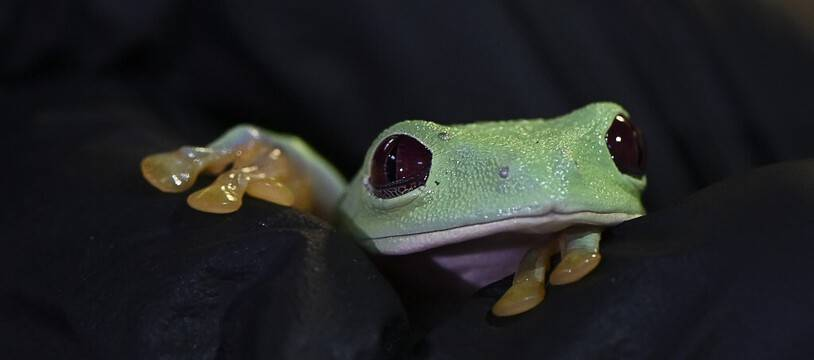 Illustration: Une grenouille  dans un magasin de Panama city, le 17 mai 2021.