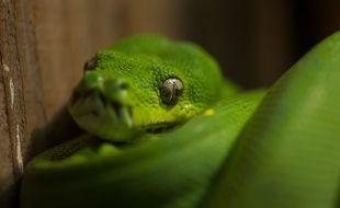 La future fôret asiatique en projet au zoo de Lyon pourrait accueillir des pythons verts. Illustration