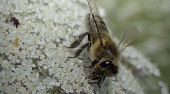 Les abeilles enchaînent huit métiers dans leur vie