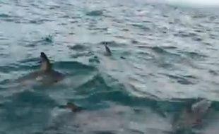 Des dauphins protègent un homme menacé par un requin au large de la Nouvelle-Zélande, le 22 avril 2014.