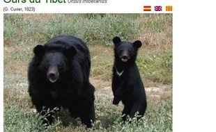 Des ours du Tibet, présentés sur le site de la réserve africaine de Sigean.