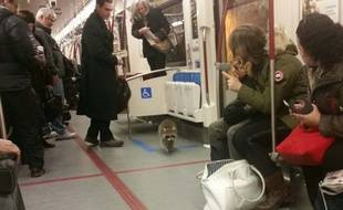 Raton-laveur dans le métro canadien.