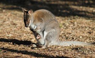 Le bébé wallaby au zoo de Labenne