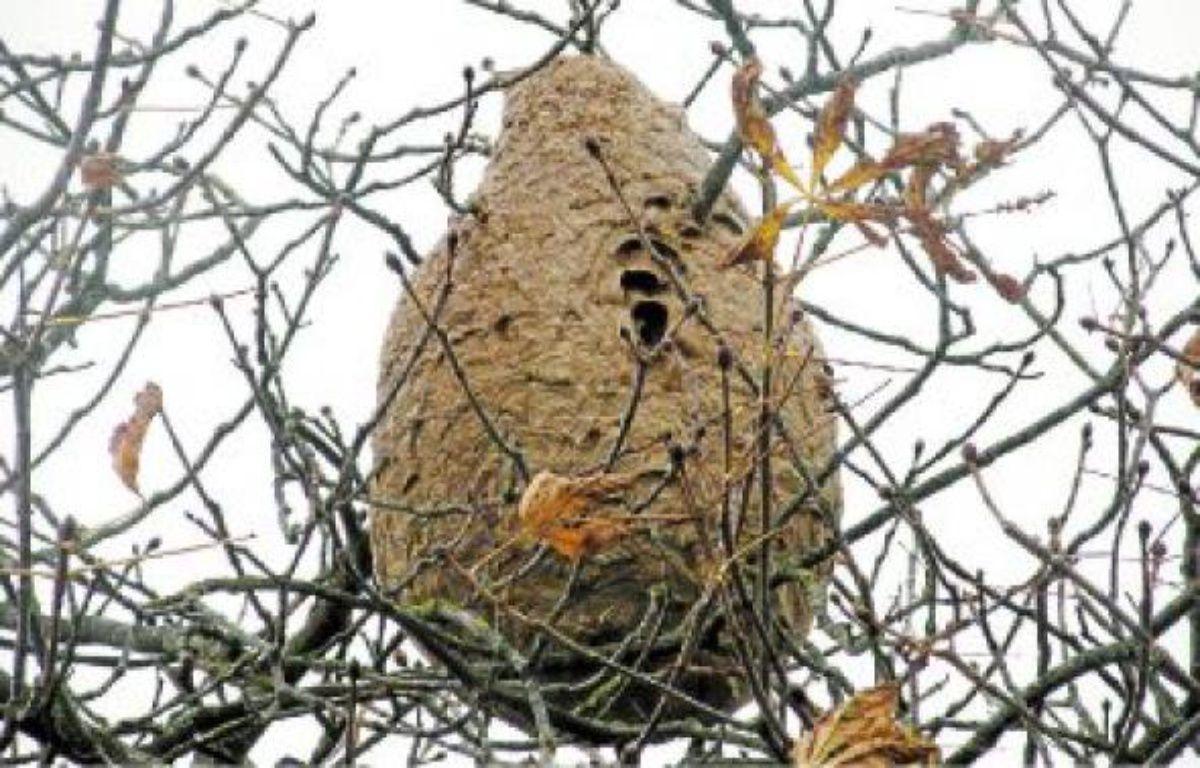 Un nid repéré à Bonnœuvre, près de Riaillé. Seule une société habilitée peut le détruire. –  FDGDON