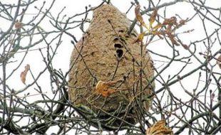 Un nid repéré à Bonnœuvre, près de Riaillé. Seule une société habilitée peut le détruire.