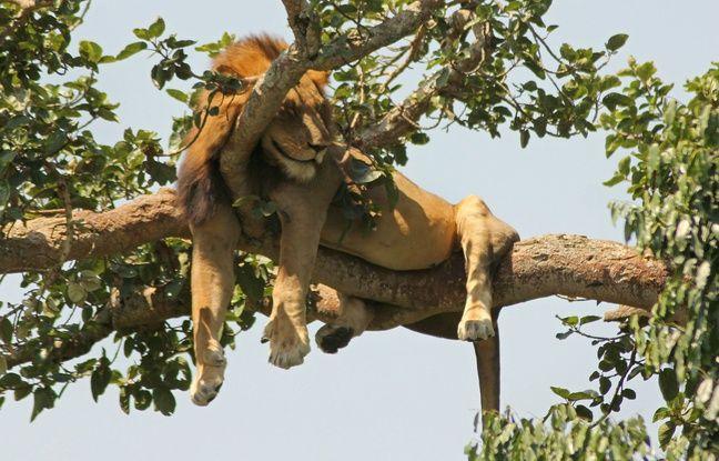 648x415 lion parc national queen elizabeth ouganda