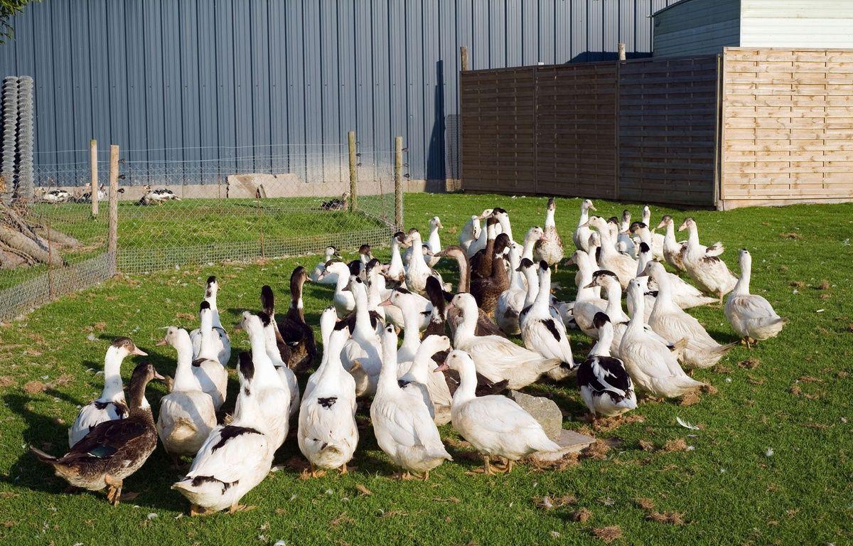 Une des pistes envisagées pour endiguer le virus d'influenza aviaire est d'abattre toutes les volailles des départements concernés.  – SUPERSTOCK/SUPERSTOCK/SIPA