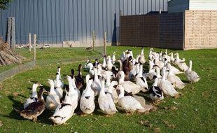 Une des pistes envisagées pour endiguer le virus d'influenza aviaire est d'abattre toutes les volailles des départements concernés.