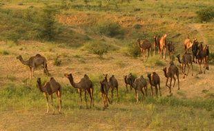 Des chameaux dans la région du Rajasthan, en Inde (Illustration).