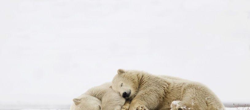 Des ours polaires au Canada.