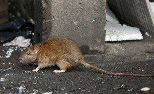 Illustration d'un rat en ville.