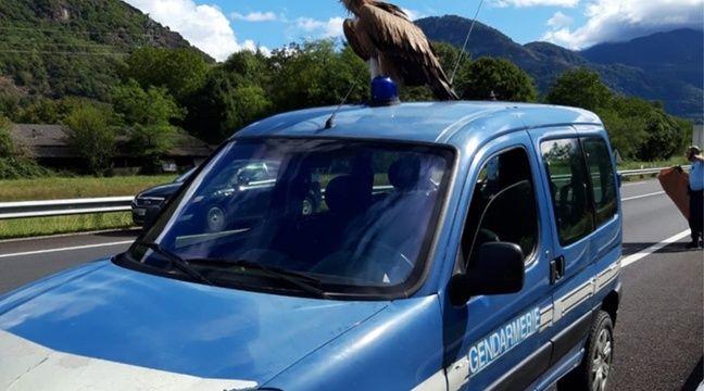 Haute-Garonne  Tranquille, le vautour se pose sur une voiture de la gendarmerie