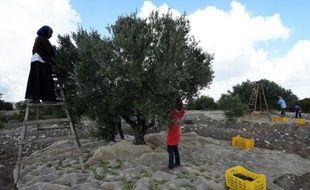 Des femmes récoltent des olives dans le village de Mornag, près de Tunis, le 6 novembre 2015