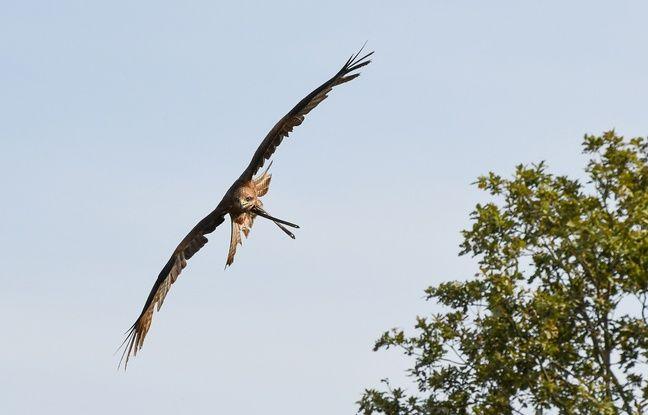 Lorsqu'elle s'attaque à un joggeur en pleine période de nidification, la buse variable a de quoi impressionner en arrivant par derrière avec ses pattes.