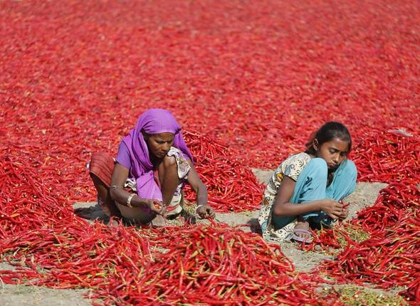 An Indian woman and a girl remove petioles of red chillies at a farm at Shertha village near Gandhinagar, India, Sunday, Feb. 25, 2018. People employed in the production of seasonal red chilies earn 20 rupees ($0.31) for cleaning and sorting about 20 kilograms (44 pounds) of chilies per person. (AP Photo/Ajit Solanki)/AMD102/18056322193111/1802251037