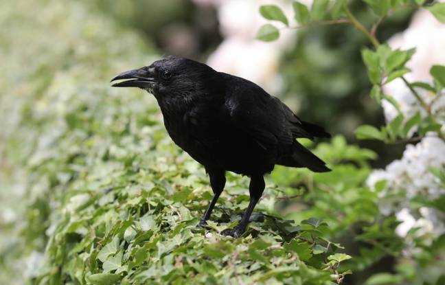 Illustration d'un corbeau, ici dans un parc à Paris.