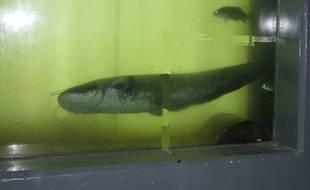 Un silure dans la passe à poissons de Golfech.
