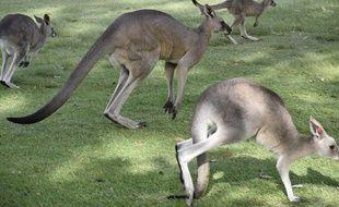 Illustration d'un kangourou.