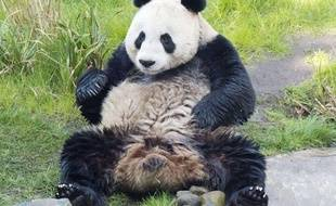 La femelle panda géant Tian Tian se prépare à l'accouplement, le 25 mars 2012, au zoo d'Edimbourg, en Ecosse.