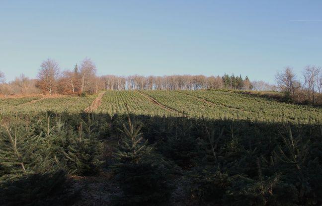 Des rangs de sapins de Noël, dans le Morvan, le 1er décembre 2016.