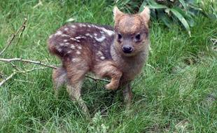 Le bébé pudu est né le 12 mai au zoo du Queens.