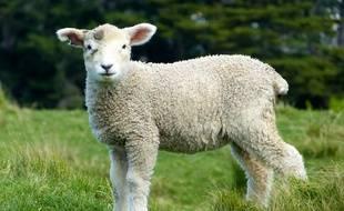 Un agneau dans un pré (illustration).