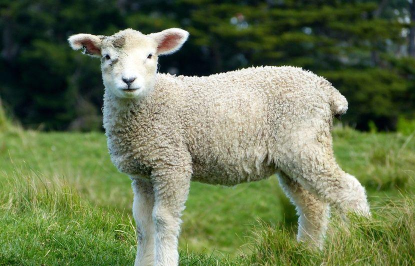 Vaucluse : Plus d'un millier de brebis et agneaux meurent noyés dans les inondations à Pertuis