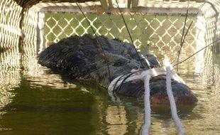 Le crocodile retrouvé par les autorités est âgé de 60 ans.