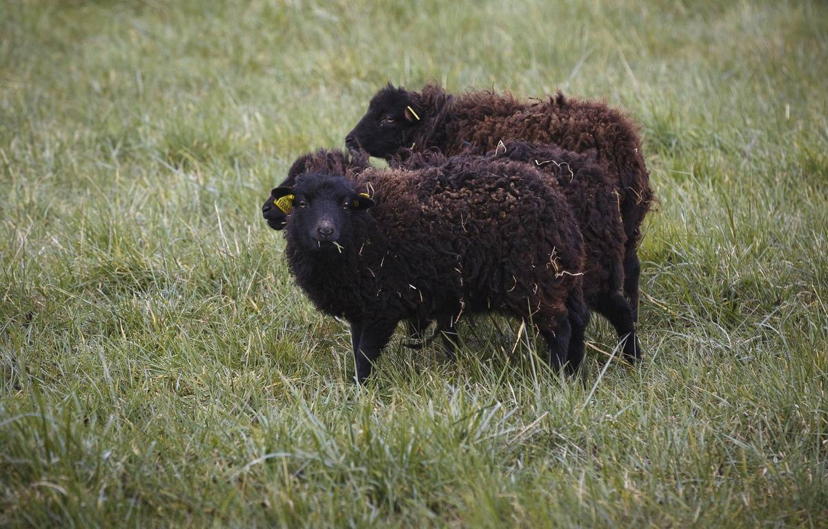La Poste a choisi des moutons d'Ouessant, les plus doués pour la tonte de pelouse – A. GELEBART / 20 MINUTES