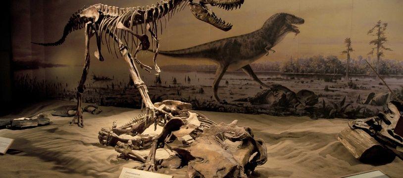 Un squelette de Centrosaurus et un d'Albertosaurus, exposés au Royal Tyrrell Museum (Canada). Illustration.