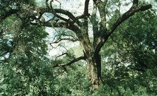 L'Ethiopie a annoncé avoir replanté plus de 350 millions d'arbres en une journée (illustration).