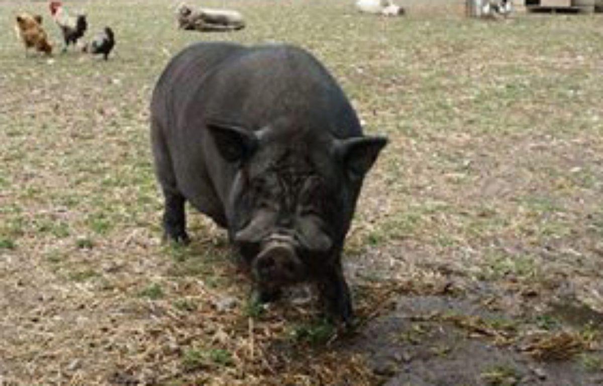L'un des cochons dérobés dans les Pyrénées-Orientales. – Capture d'écran Facebook