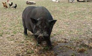 L'un des cochons dérobés dans les Pyrénées-Orientales.