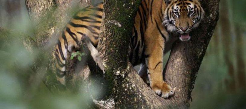 Un tigre de Sumatra.