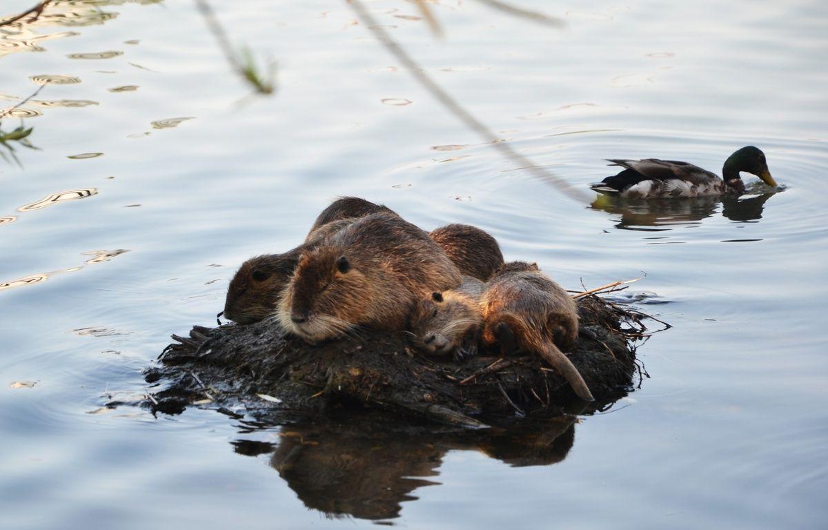 Pépères, les ragondins, sur le bassin Jacques-Coeur. – N. Bonzom / Maxele Presse