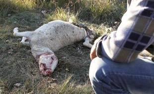 Un berger observe une de ses brebis attaquée par des loups à Caussols (Alpes-Maritimes) le 7 novembre 2012
