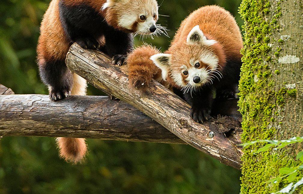 mulhouse les pandas roux et leurs copains muntjacs et loutres naines ont pris leurs quartiers. Black Bedroom Furniture Sets. Home Design Ideas