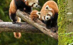 Pandas roux, muntjacs et loutres naines sont arrivés au zoo de Mulhouse.