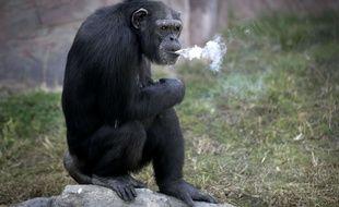 Azalea, un chimpanzé femelle de 19 ans accro au tabac.