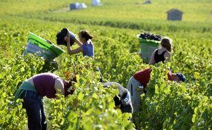 Des vendangeurs saisonniers dans le Beaujolais