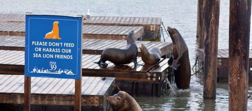 Lions de mer à San Francisco