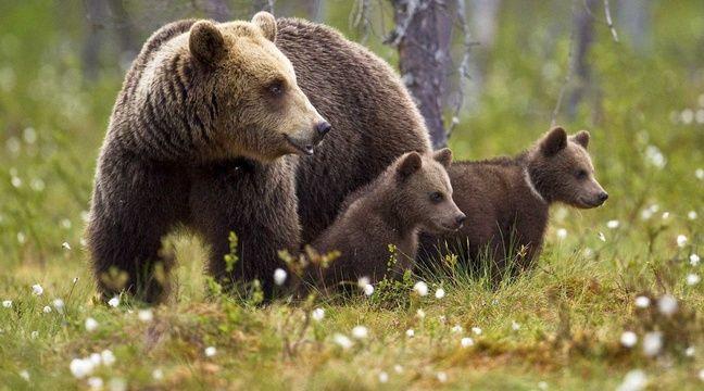 Les (très officiels) effaroucheurs d'ours entrent en action en Ariège