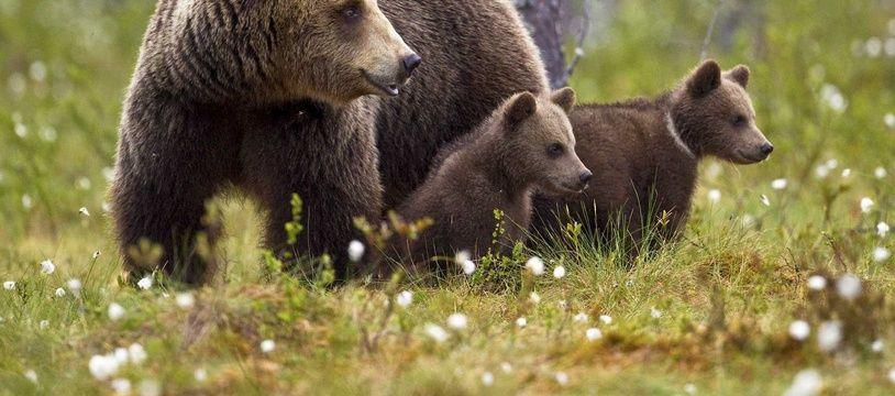 Une famille d'ours brun comme ceux qui vivent dans les Pyrénées.